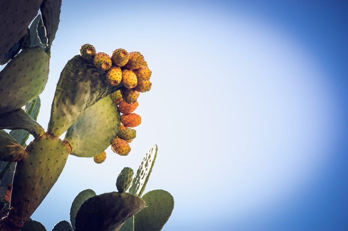 cactus de barbaries cinque terre